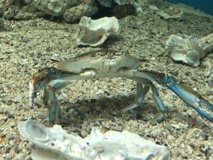 Blue Crab at UGA Aquarium in Georgia