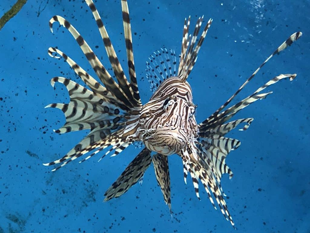 Lion Fish at UGA Aquarium