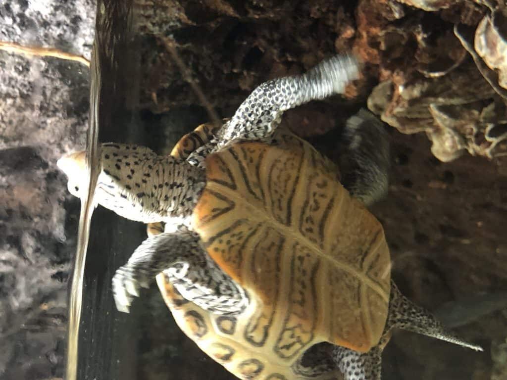 Terrapin Turtle at the UGA Aquarium