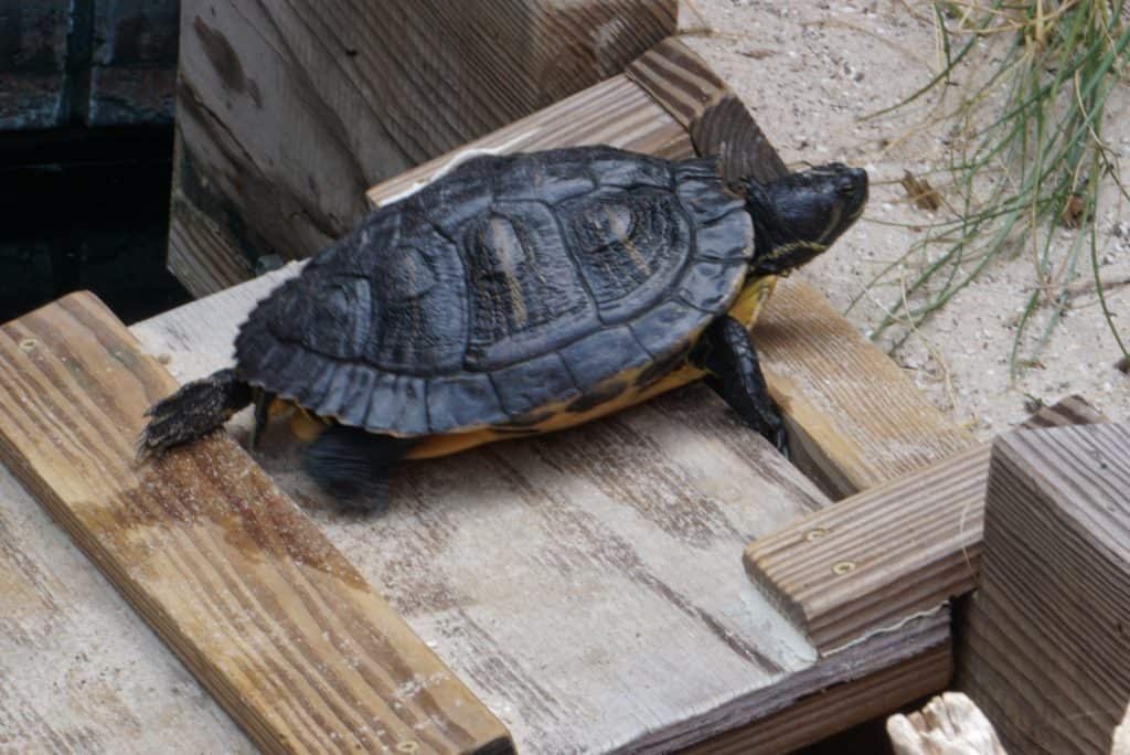 Terrapin Turtles at the UGA Aquarium