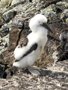 Baby Blue Footed Boobies in the Galapagos