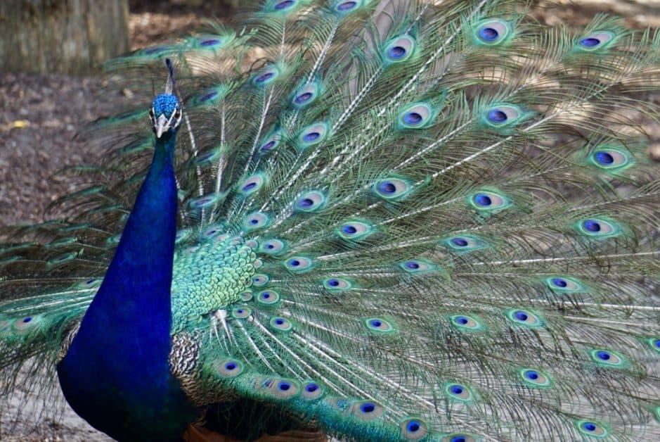 Peacock at the Magnolia-Plantation & Gardens