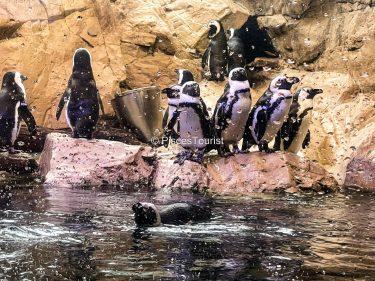 Penguins at The Audubon Aquarium of the Americas in New Orleans