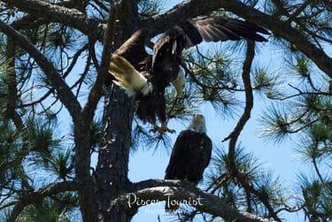 Bald Eagles at Widgeon Point Preserve