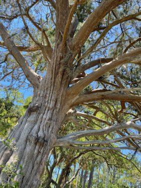 Oak Tree Widgeon Point Preserve