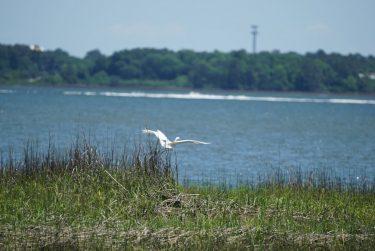 Widgeon Point Preserve Egret