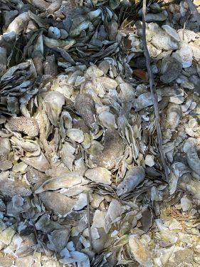 Widgeon Point Preserve Oyster Shells