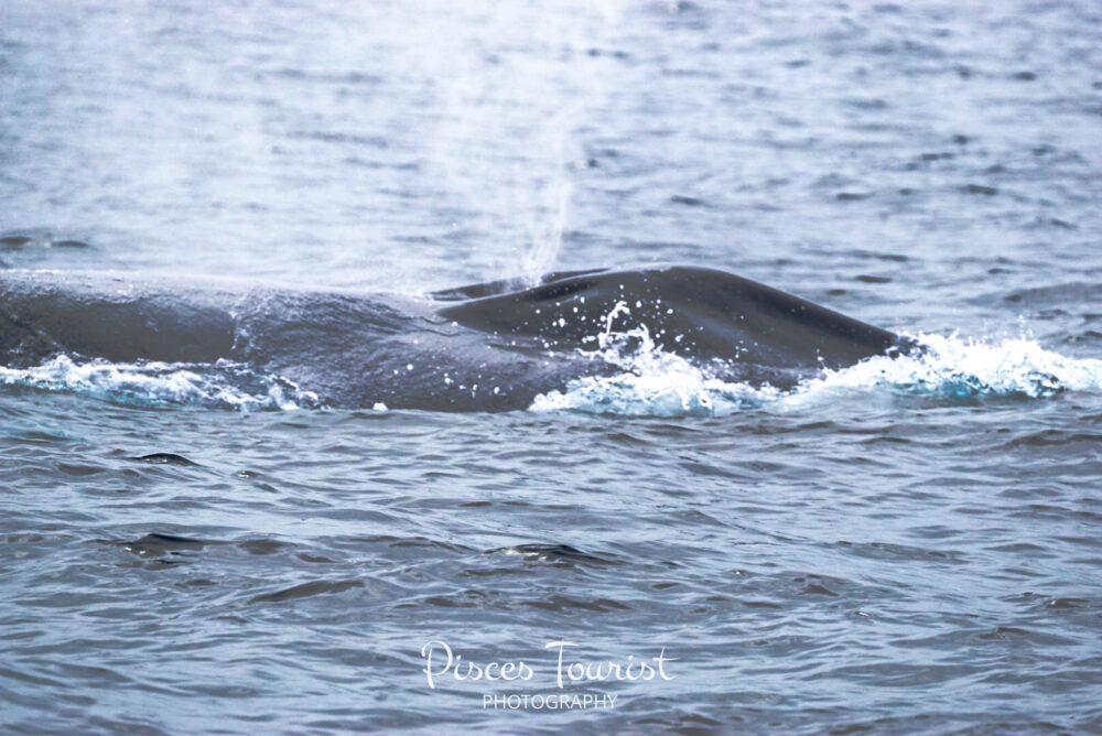 Top 10 Favorite Things to do in San Diego-Go Gone Whale Watching! Watch the Blue_Whale_Breaching_San_Diego_Pisces_Tourist