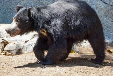 Bear_San_Diego_Zoo_Pisces_Tourist