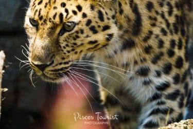 Cheetah_San_Diego_Zoo_Pisces_Tourist
