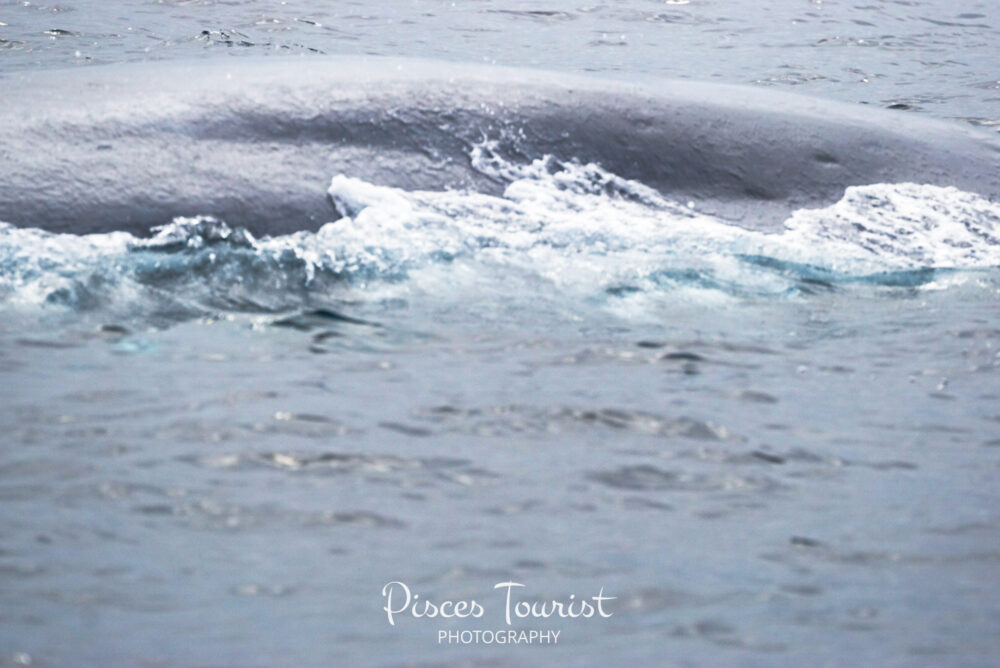 Beautiful_Blue_Whale_in_July__San_Diego_Pisces_Tourist