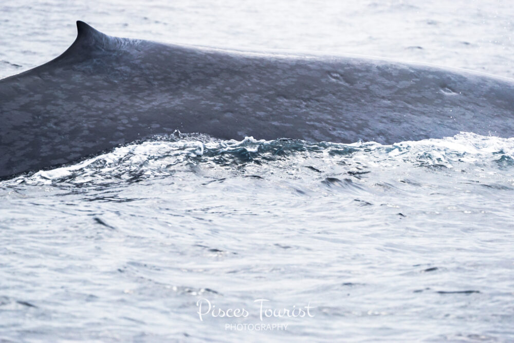Magestic_Blue_Whale__Siting_in_July__San_Diego_Pisces_Tourist