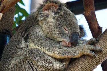 Koala_Bear_Sleeping_At_the_San_Diego_Zoo