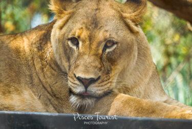 Lion_San_Diego_Zoo_Pisces_Tourist