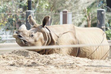 Northern_White_Rhinos_San_Diego_Zoo_Pisces_Tourist