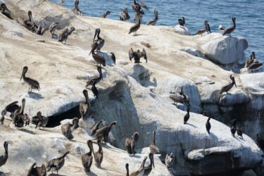 Pelicans_La_Jolla_Cove_San_Diego_Pisces_Tourist