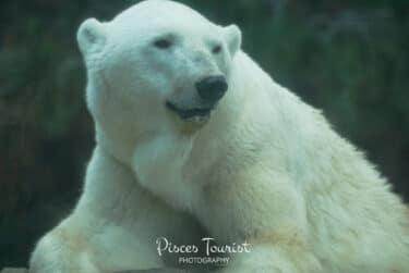 Polar_Bear_San_Diego_Pisces_Tourist