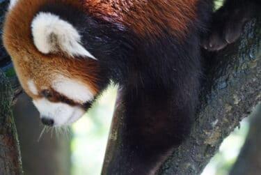 Red_Panda_San_Diego_Zoo_Pisces_Tourist