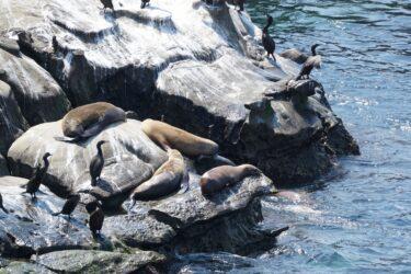 Sea_Lions_at_La_Jolla_Cove_San_Diego_Pisces_Tourist